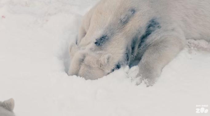В зоопарк Сан-Диего завезли 26 тонн снега. Реакция белых медведей бесподобна