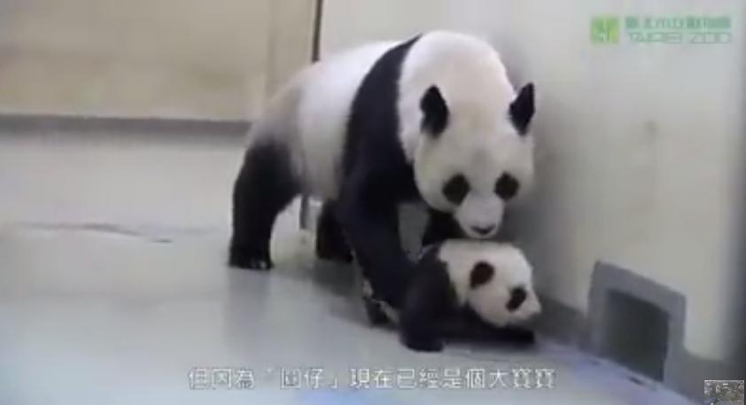 Мама-панда укладывает спать малыша. Это невероятно мило!