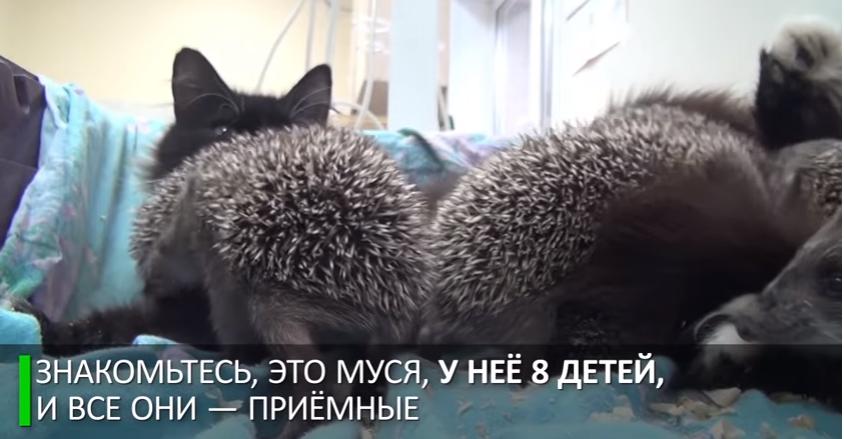 Мама Муся: кошка усыновила восьмерых ёжиков-сирот