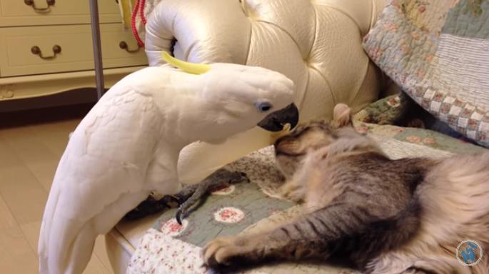 Когда попугай и кошка дружат! Очень необычно! Видео.